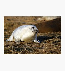 Fluffy frey seal pup Photographic Print