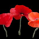 Beautiful red poppy flowers photo art in black background. by naturematters