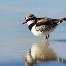 Black Fronted Dotterel - Kilcowera Station by Malcolm Katon