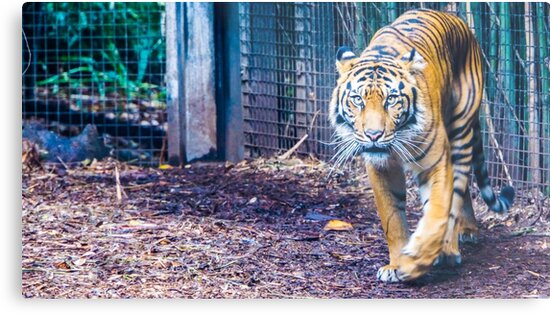 Tiger on the Prowl by sjphotocomau