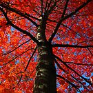 Red Maple by stormypleasures