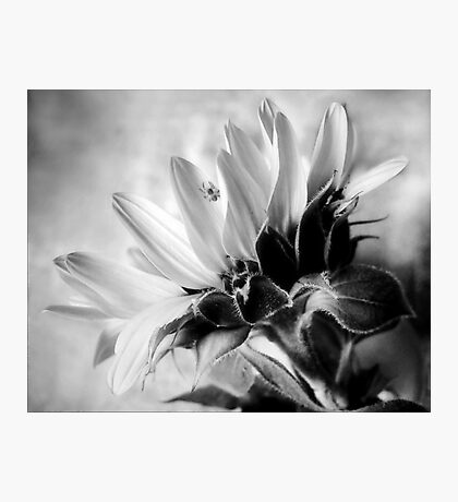 Sunflower with Spider Photographic Print