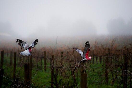 galahs in the mist by paul erwin