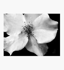 Flutterbye Rose in Black and White Photographic Print