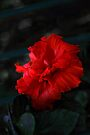 Red Hibiscus by Elaine Teague
