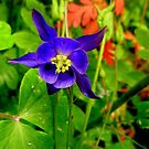 Wild Columbine in the Rain by Elaine Bawden