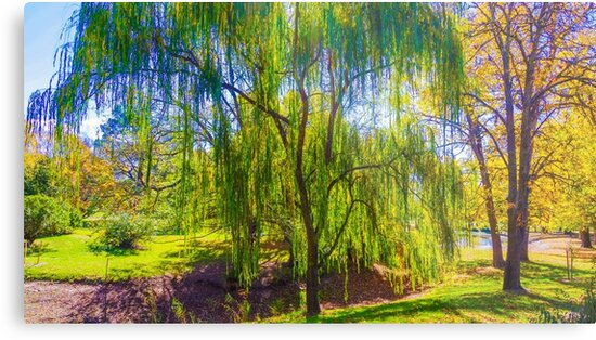 Weeping Gum Tree in Autumn at Malmsbury by sjphotocomau