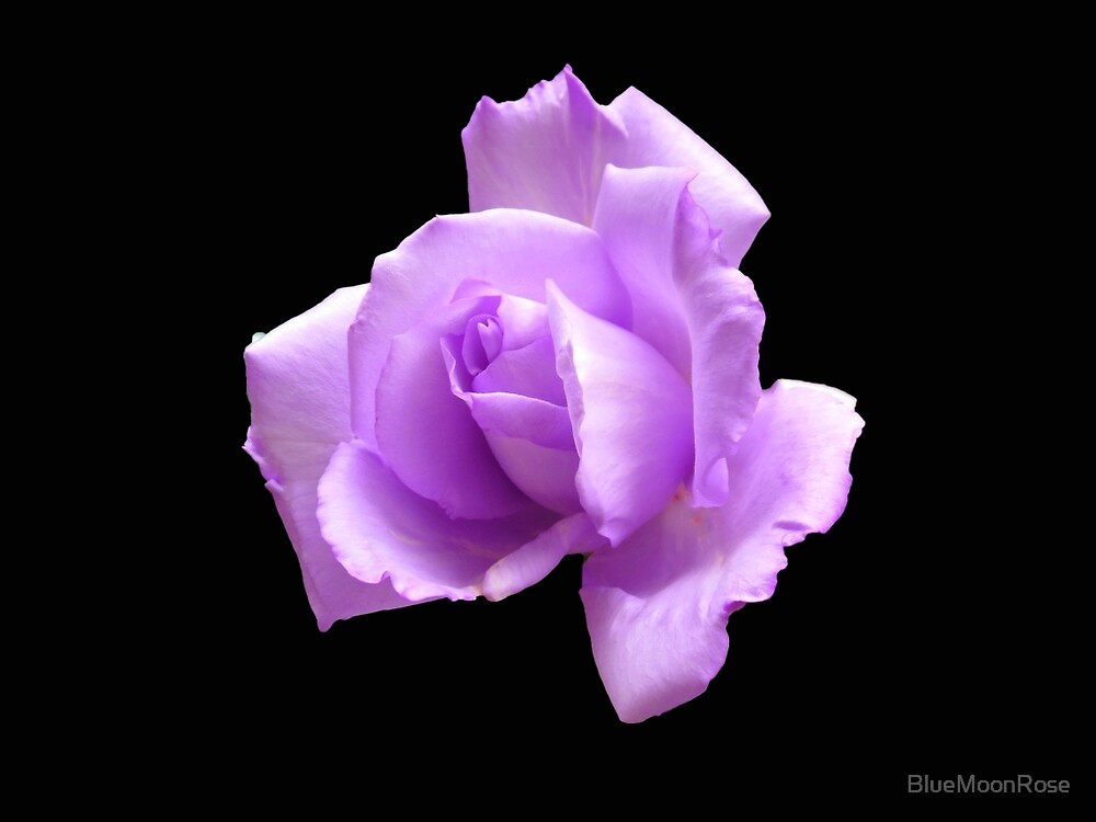Dreamy Blue Moon Rose - Black Background by BlueMoonRose