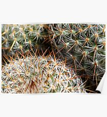 Mexican Round Cactus Poster