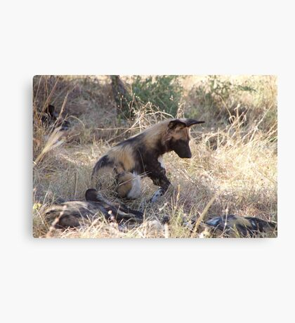 Wild dog sitting with its pack Canvas Print