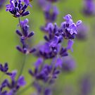 Lavender comfort by Manon Boily