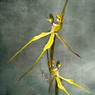 Australian Native Spider Orchid by Mark Richards
