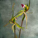 Australian Native Spider Orchid III by Mark Richards