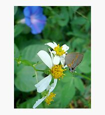 Banded Hairstreak in Spanish Needles Photographic Print