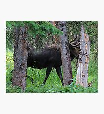 Moose in the Woods Photographic Print