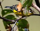 magonila warbler by Dennis Cheeseman