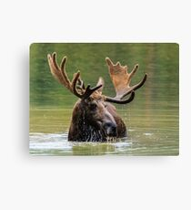 Wild Moose in Colorado Canvas Print