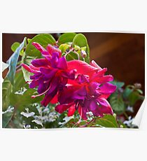 Pink And Purple Fuschia Blossoms Poster