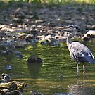A Blue Heron in the White River by mltrue