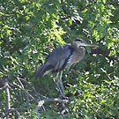 Heron in Tree by mltrue