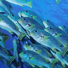 Diagonal-banded Sweetlips, Papua New Guinea by Erik Schlogl