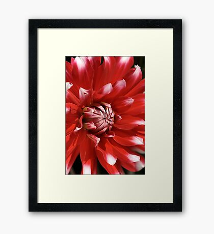 flower- red-white-dahlia Framed Print
