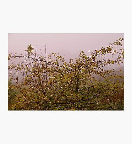 Foggy morning apple tree Photographic Print