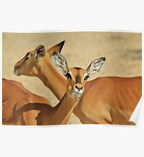 Impala - Funny Nature - African Wildlife Background Poster
