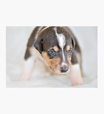 Cute smooth collie puppy Photographic Print