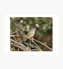 Red-browed Firetail Art Print