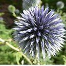 Allium flower by Chris Ayre