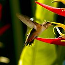 Hummingbird Feeding On Heliconia by DARRIN ALDRIDGE