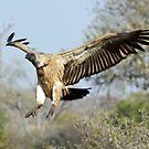 White-backed vulture landing by Anthony Goldman