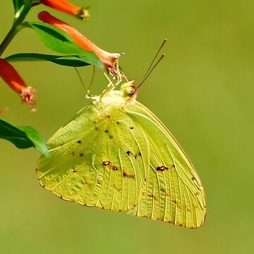 Clouded Sulphur Butterfly by KBaccari