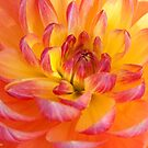 Dahlia by Barb White