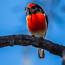 Red-capped robin by Janette Rodgers