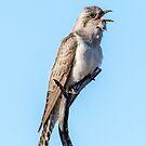 Australian Pallid Cuckoo by Janette Rodgers