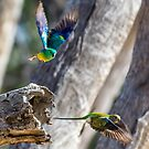 Red-rumped parrots by Janette Rodgers