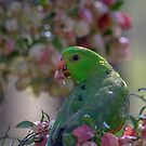 Red-winged parrot by Janette Rodgers