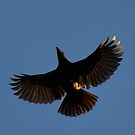 Female Satin Bower Bird in Flight by Toradellin