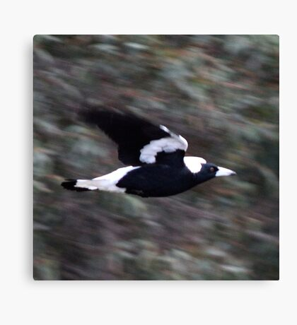 Magpie in Flight Canvas Print
