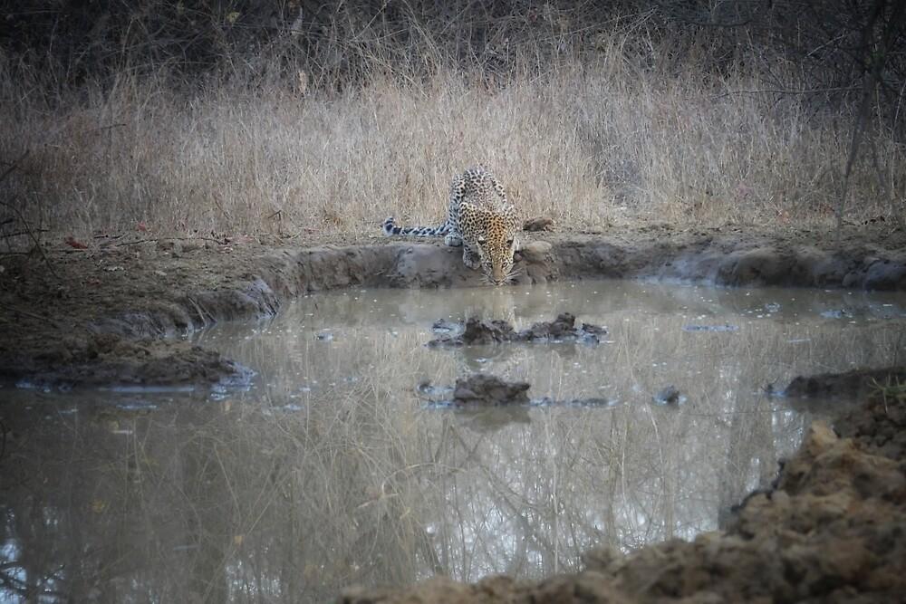 a leopard drinks by handheld-films