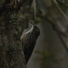 White-throated Treecreeper by Toradellin