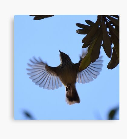 Striated Thornbill in Flight Canvas Print