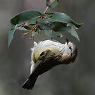 Striated Thornbill Inverted by Toradellin