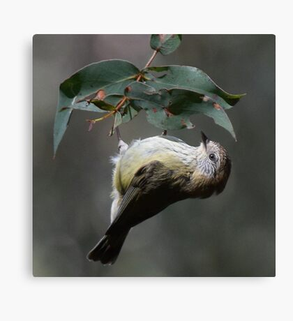 Striated Thornbill Inverted Canvas Print