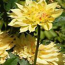 YELLOW DAHLIA FLOWER BLOSSOM PETALS by Nicola Furlong