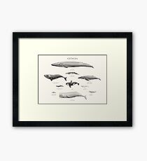 Cetacea Framed Print