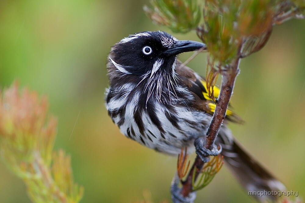 New Holland Honeyeater 1 by mncphotography