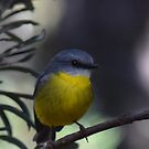 Eastern Yellow Robin by Toradellin